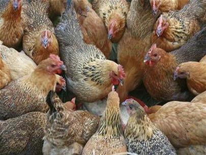 Nghiên cứu: Virut tả lợn dễ lây truyền giữa gà và gà tây