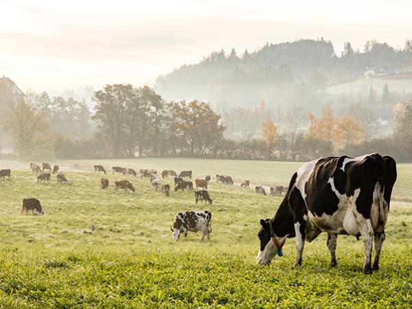 Phương pháp tiếp cận địa phương cần thiết để giải quyết phát thải trong ngành chăn nuôi