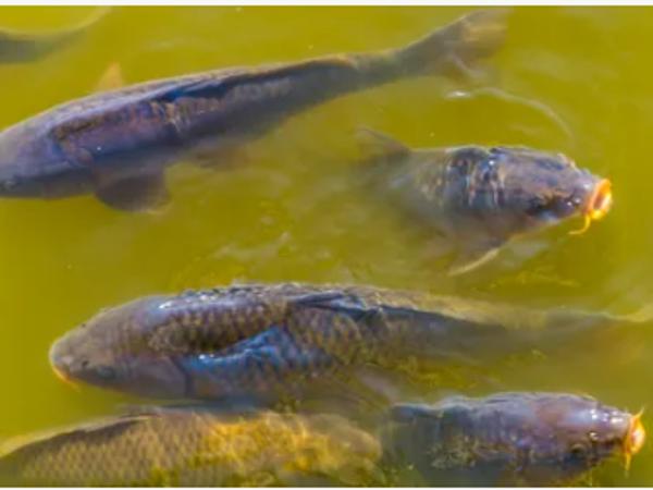 Nghiên cứu mới: Nuôi trồng thủy sản bằng nước thải đã qua xử lý không đe dọa sức khỏe con người