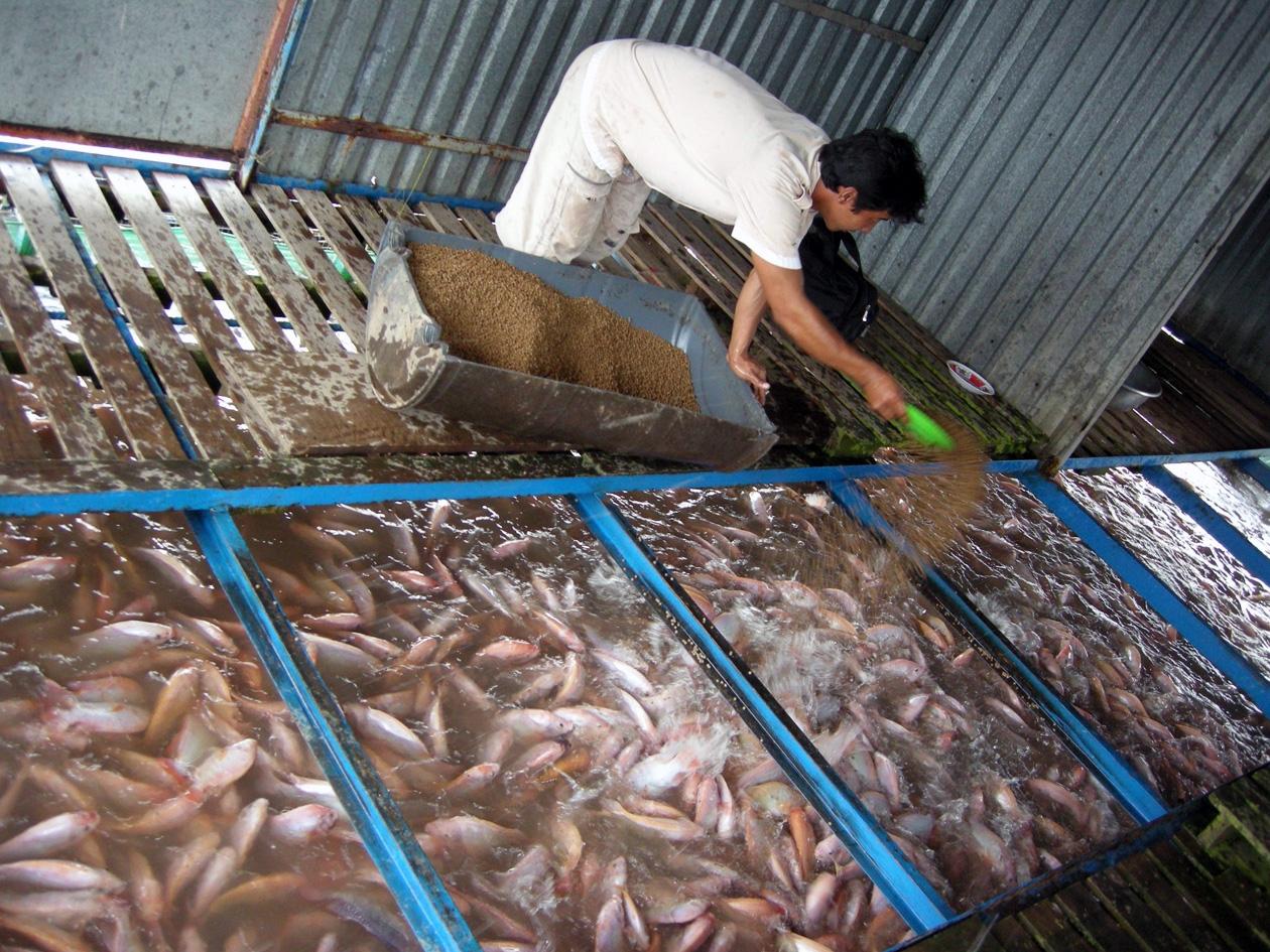 Giá cá điêu hồng giảm nhẹ, người nuôi vẫn lãi lớn