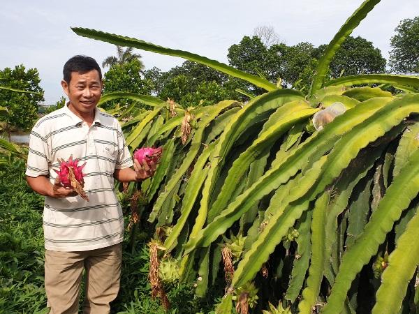 Mô hình trồng thanh long ruột tím hồng của ông Trịnh Tiến Mạnh (xóm 5, xã Thụy Duyên, Thái Thụy) cho thu nhập hơn 300 triệu/năm (Ảnh: Dân Việt)