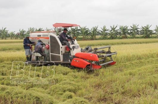 Triển vọng canh tác lúa hữu cơ tại vùng khai thác rươi